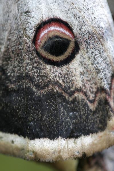 Okáň hruškový (Saturnia pyri)